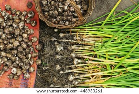 Garlic pile for background, garlic mound on market, bunch of garlic from garden, garlic harvested, underground vegetable garlic, drying garlic, health care vegetable garlic, raw spice garlic heap - stock photo
