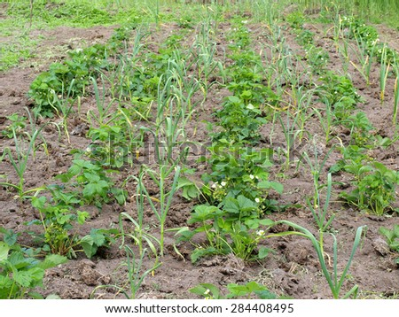 Garlic plants grows between rows of strawberry to fight pests - stock photo