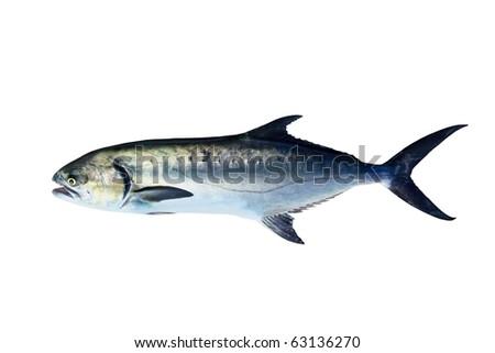 Garrick Lichia Amia Leerfish Leervis fish Jack isolated on white - stock photo