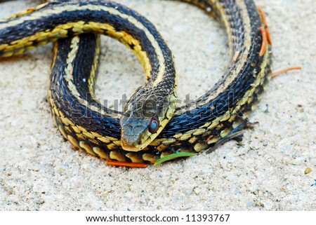 Garter snake laying in the sand - stock photo