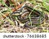 Garter Snake (Thamnophis sirtalis) basking in Illinois. - stock photo
