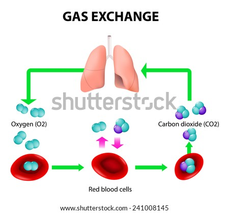 Gas exchange stock images royalty free images vectors gas exchange in humans path of red blood cells oxygen transport cycle both ccuart Gallery