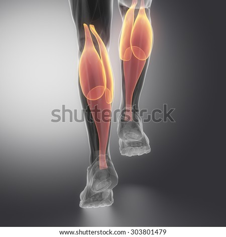 gastrocnemius - human muscle anatomy - stock photo