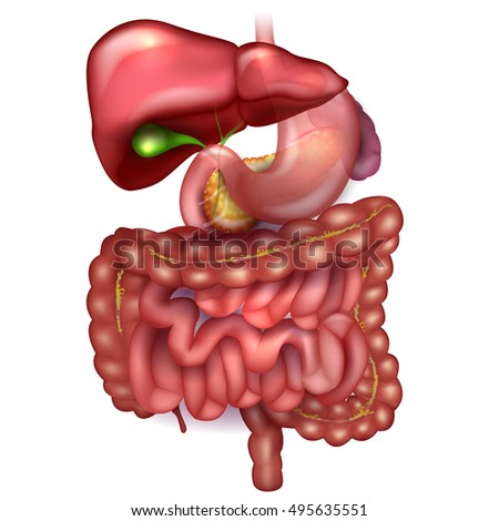 gastrointestinal tract stock images, royalty-free images & vectors, Cephalic vein