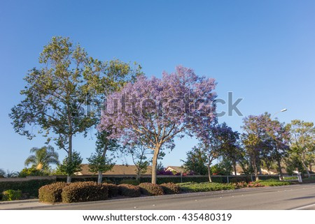Gated residential houses along Adolfo Street decorated with Purple Blue Jacaranda, Camarillo, Ventura county, CA