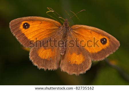 gatekeeper butterfly resting in the sun - stock photo