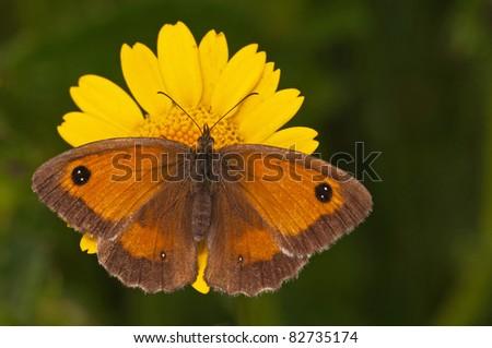 gatekeeper on corn marigold - stock photo
