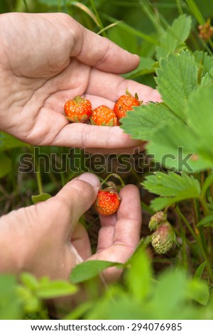 gathering of forest strawberries - stock photo