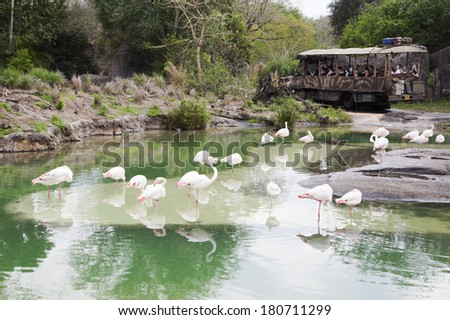 Gathering of Greater Flamingos with tourists in jeep in background - stock photo