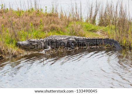 Gator in a Peaceful Slumber - stock photo