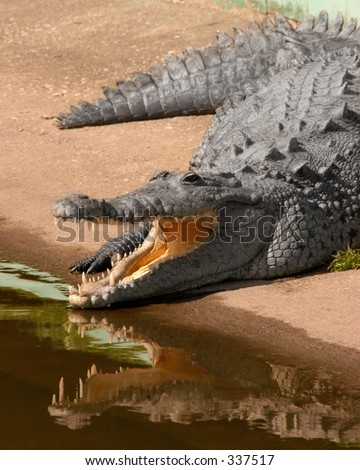 Gator is sunning with his mouth open reflecting in the water