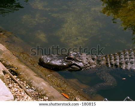 Gator Sunning - stock photo