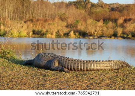 Gator Stock Images RoyaltyFree
