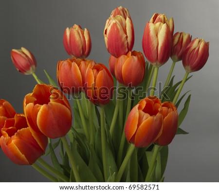 gaudy tulips - stock photo
