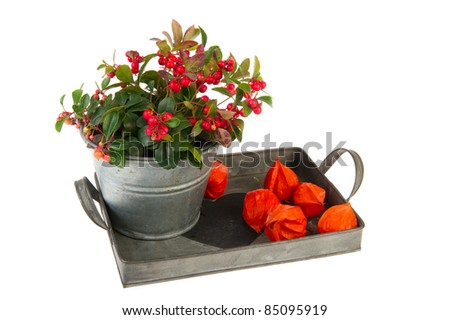 Gaultheria plant and Chinese lanterns isolated over white
