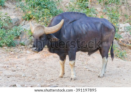 gaur - stock photo