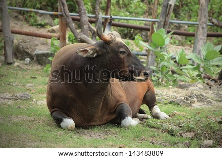 Gaur. Jaint black bull in rainforest, Thailand. - stock photo