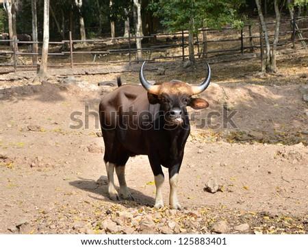 Gaur. Jiant black bull in rainforest, Thailand. - stock photo