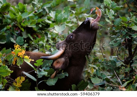 Gaur. / Large wild bull Gaur a long tongue breaks leaves from bushes and trees. - stock photo