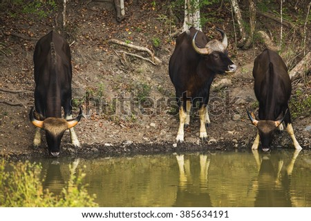Gaur male and female eating water in the nature. - stock photo