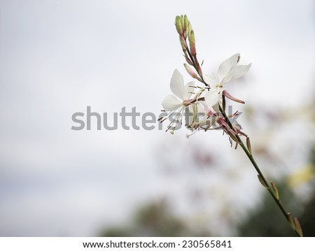 Gaura flower or butterfly bush with neutral copy-space background suitable for mourning condolence and sympathy greeting card - stock photo