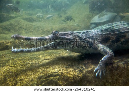 Gavial crocodile in water - stock photo