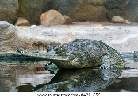 Gavial waiting in the water for the prey
