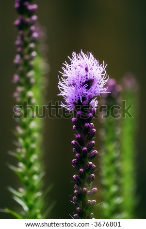 Gayfeather Plant (Liatris spicata) - stock photo