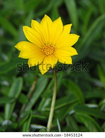 Gazania - stock photo