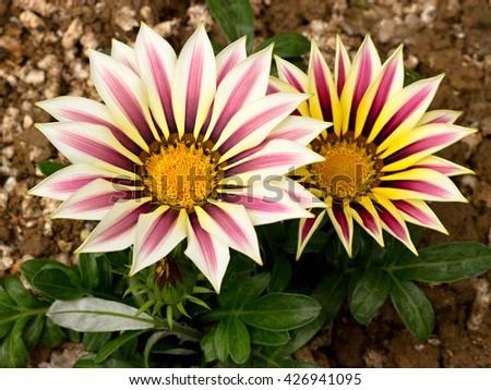 gazania blooming in the garden - stock photo