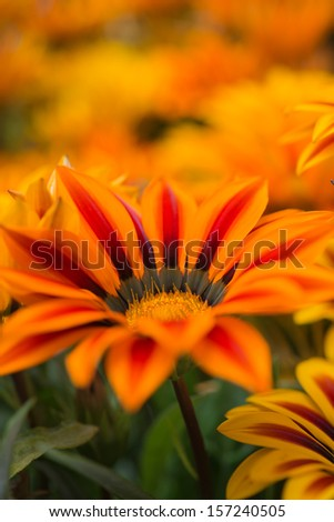 Gazania close-up on bed in summer city park.