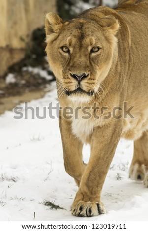 gaze lioness - stock photo