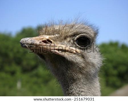 Gaze ostrich - stock photo