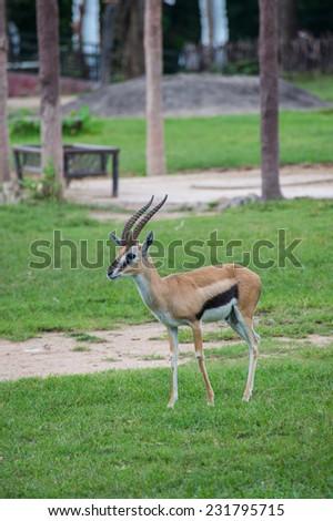 Gazelle - stock photo