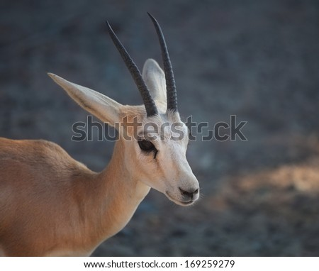 Gazelle. Arabian Wildlife in natural habitat. UAE - stock photo