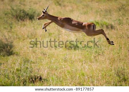 Gazelle jumps in the Serengeti - stock photo