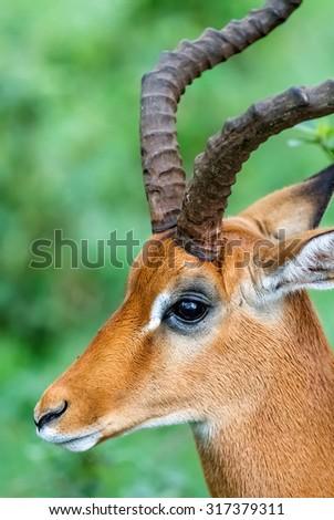 Gazelle male in Lake Nakuru National Park - Kenya, Africa - stock photo
