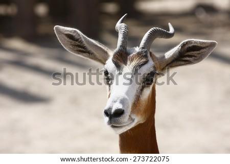 gazelle portrait - stock photo