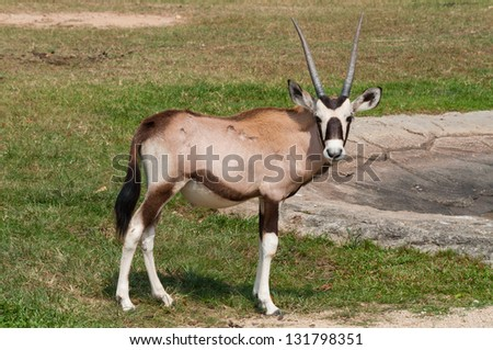 Gazelle standing on one of the green grass. - stock photo