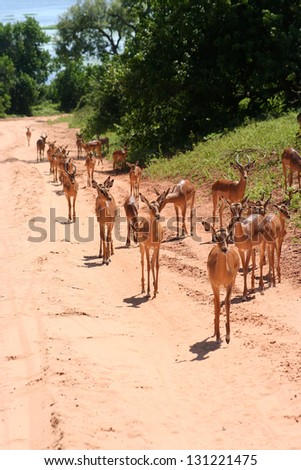 gazelles in Africa - stock photo