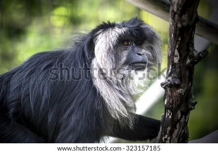 Gazing Macaque - stock photo
