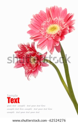 gebera (african daisy) isolated on white