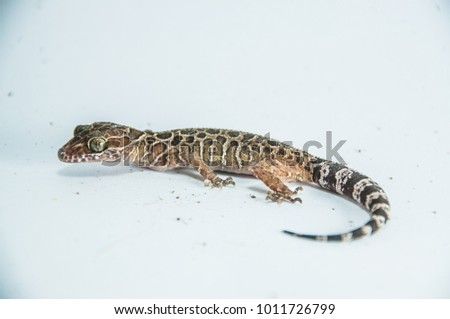 Gecko and green lizard in the studio, white background