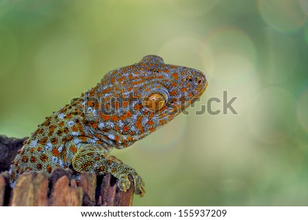Gecko climbing on timber with green and bokeh background