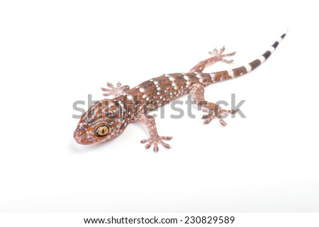 Gecko climbing on white background - stock photo