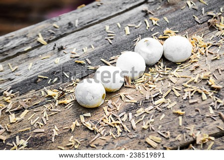 Gecko eggs on a large piece of wood - stock photo