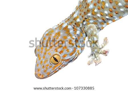 Gecko Isolated on white. - stock photo