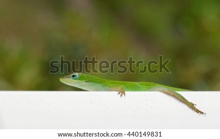 Gecko Lizard - stock photo
