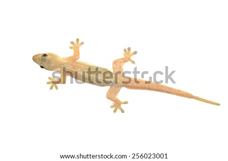 Gecko lizard isolated on white - stock photo