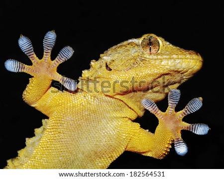 gecko lizard showing his adhesive fingers - stock photo